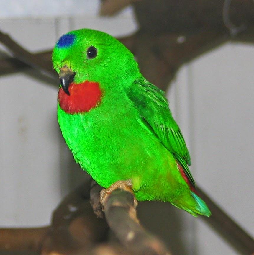 Foto Burung Srindit Jawa Terbaik