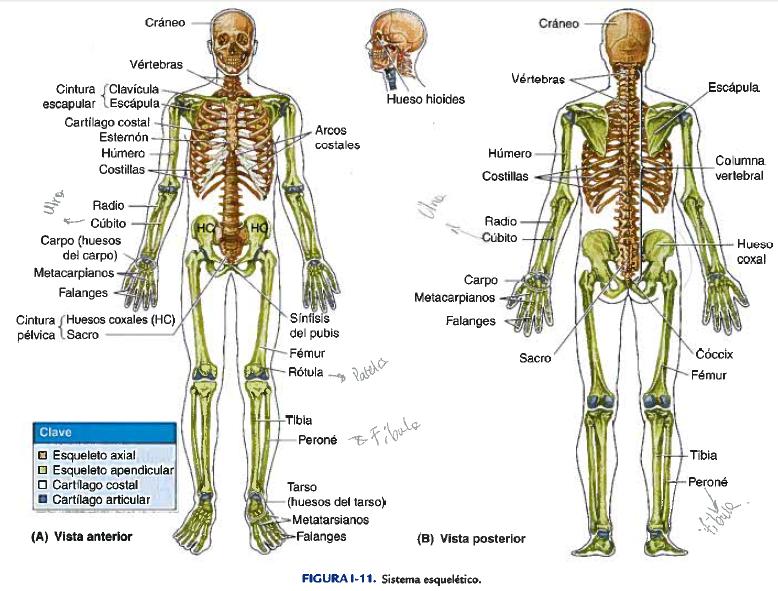 SISTEMA ESQUELÉTICO | Morfofisiología I