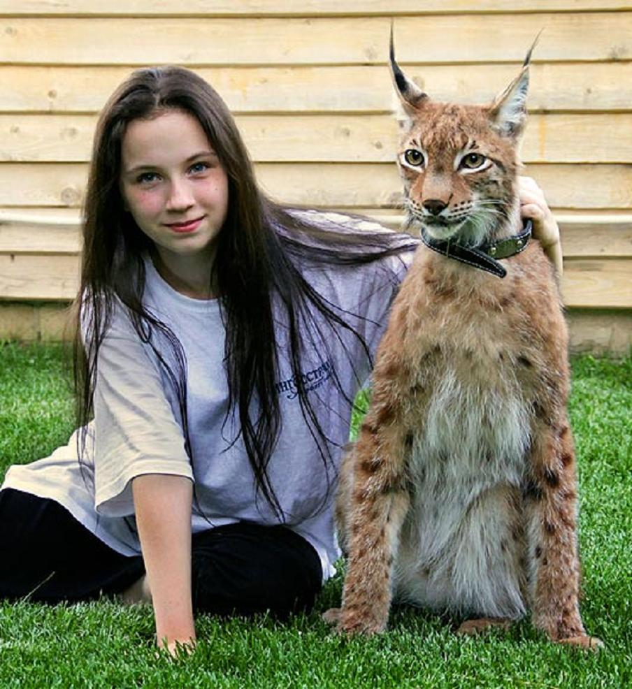 What domestic cat looks like a bobcat