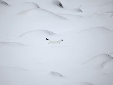 雪原や 幸か不幸かオコジョかな