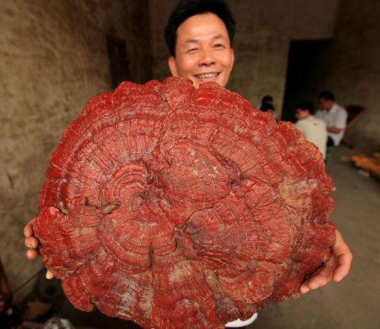 Cendawan Merah gergasi di China