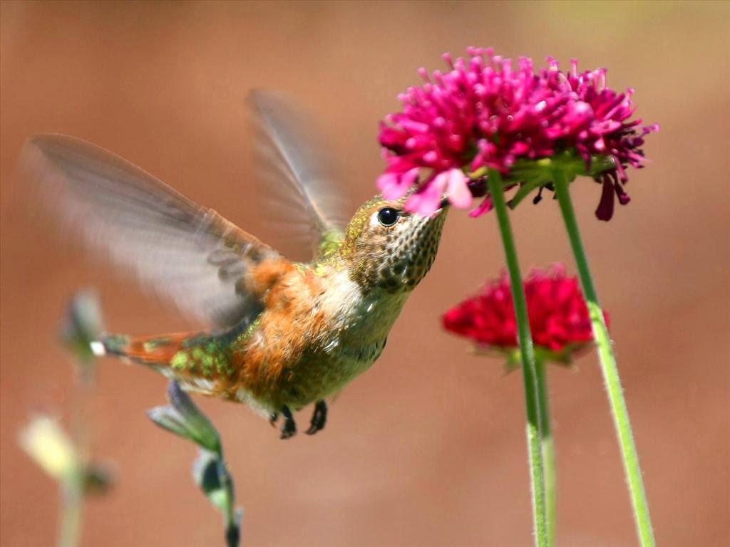 ảnh chim hút mật