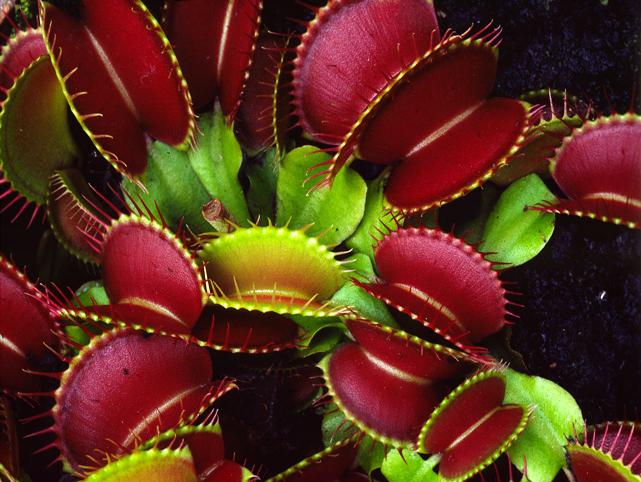 Top 10 de las Flores y Plantas más Exóticas y Raras del  - Imagenes Flores Exoticas Colombianas