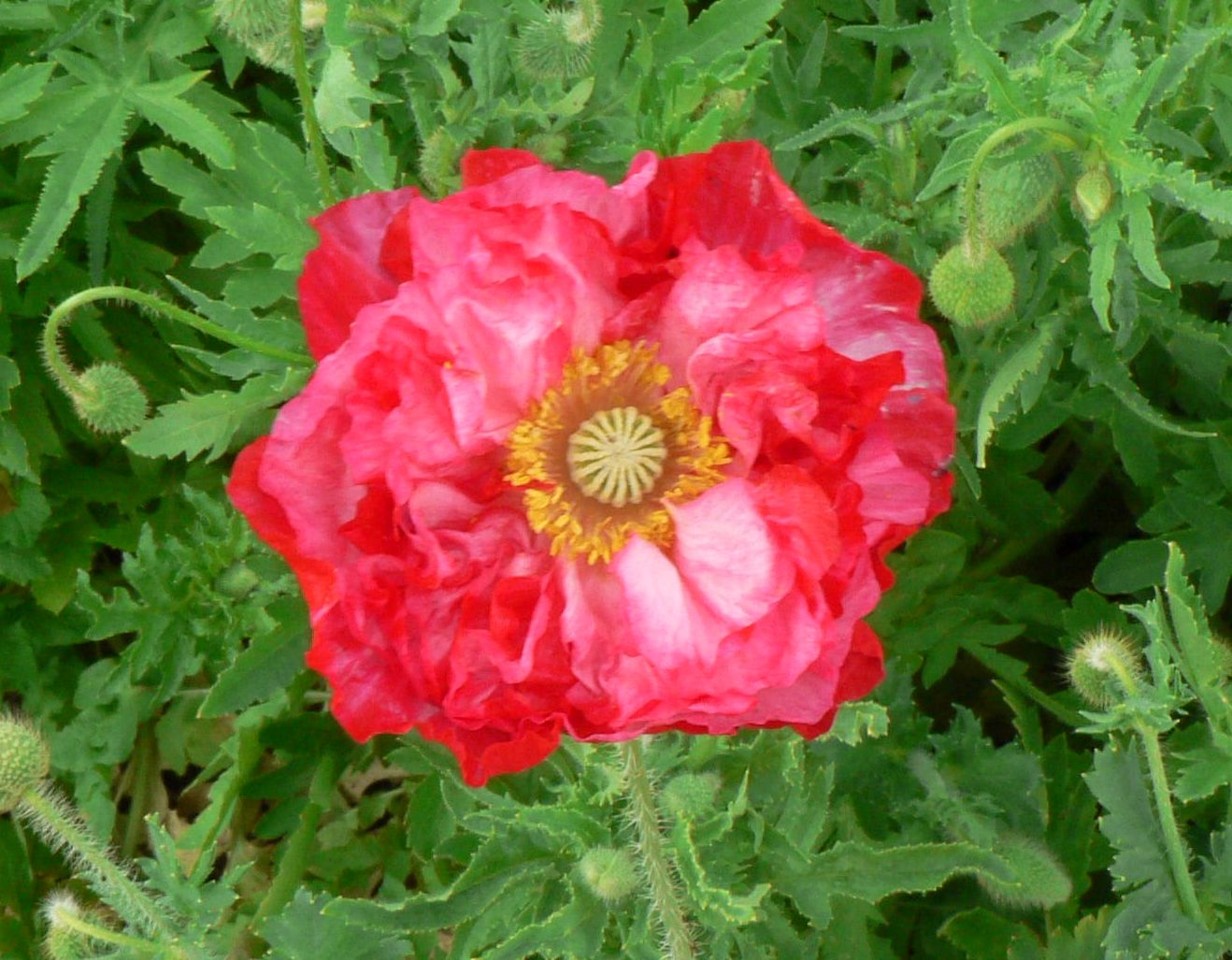 Visit My Garden Annual Poppies