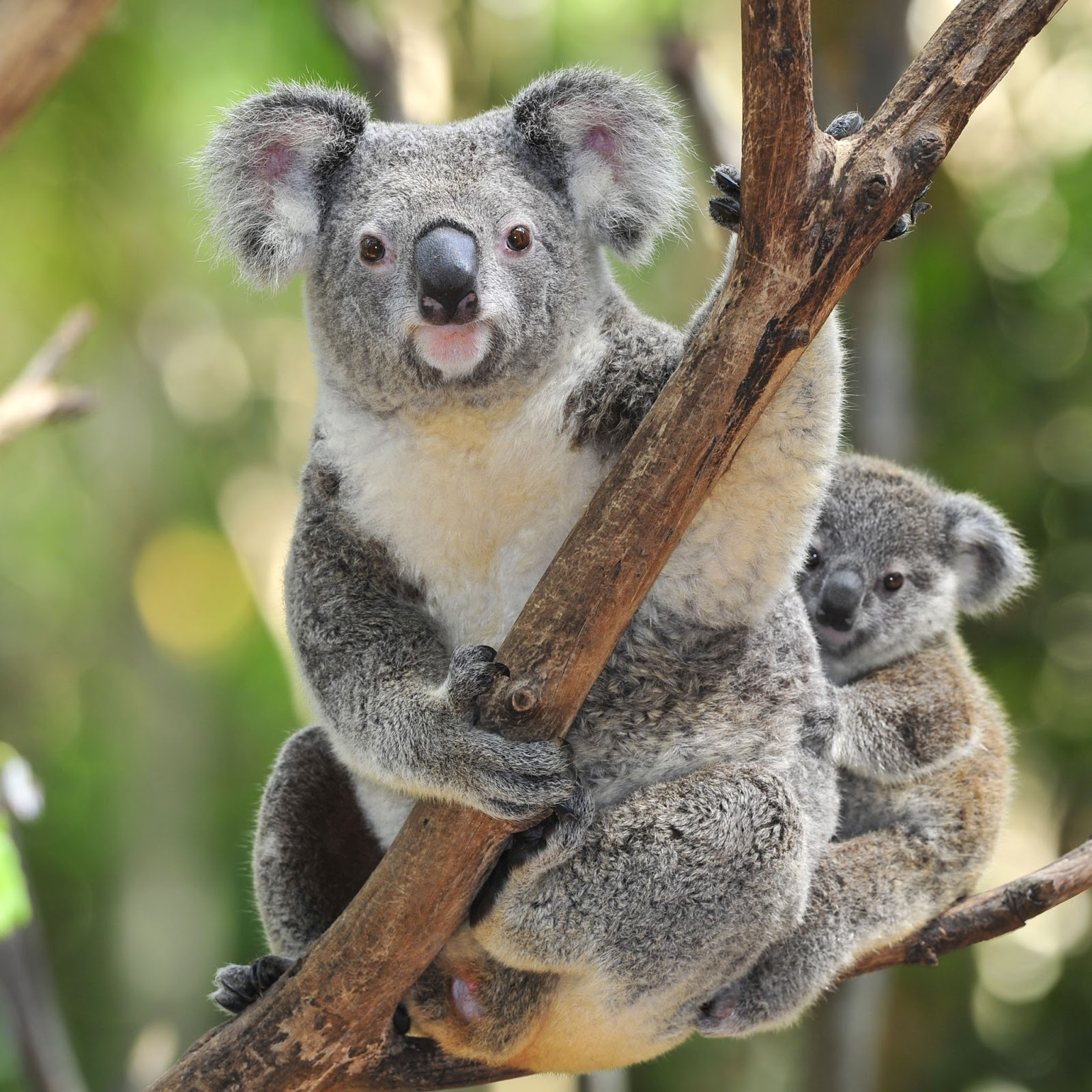 koala bears The situation has become so dire that researchers are working on a vaccine that would protect the koalas from contracting the std.