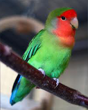 red faced lovebird