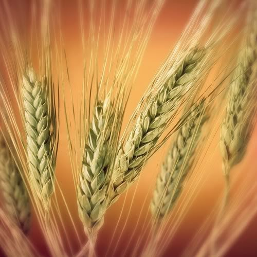 golden wheat stalks on brownish-yellow background