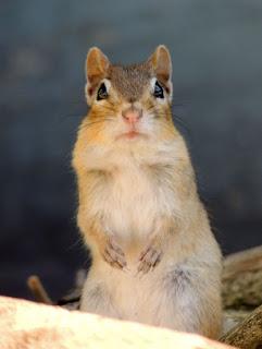 Chipmunk staring at me