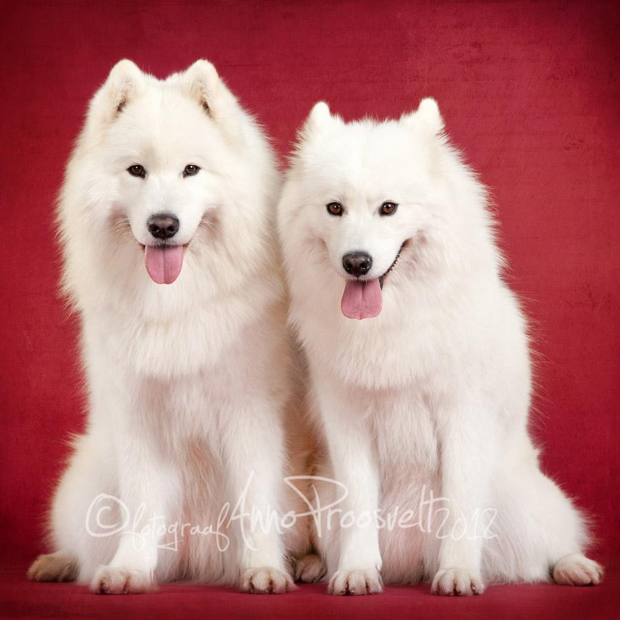 samojeedi-koerad