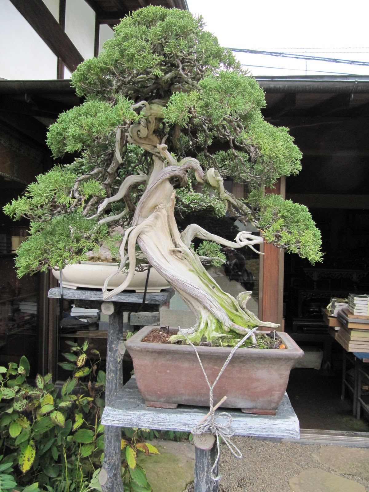 Roxana Lewis39 Japan BONSAI Creating Nature In A Dish