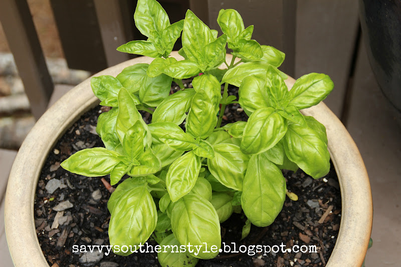 how to grow basil on your deck