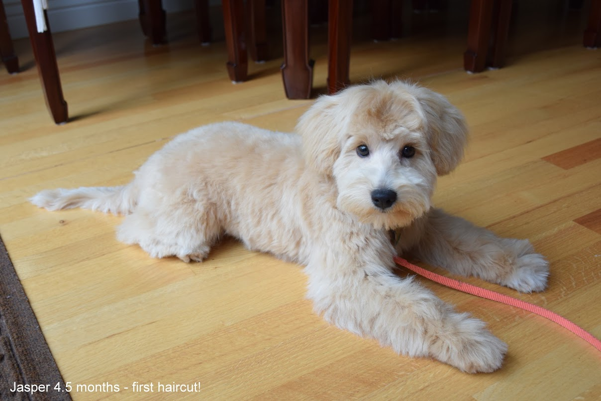 Pictures Of Schnoodle Haircuts | grooming styles for ...