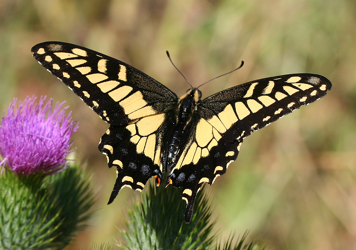 Erfly Gardening Swallowtail Monarch Buckeye