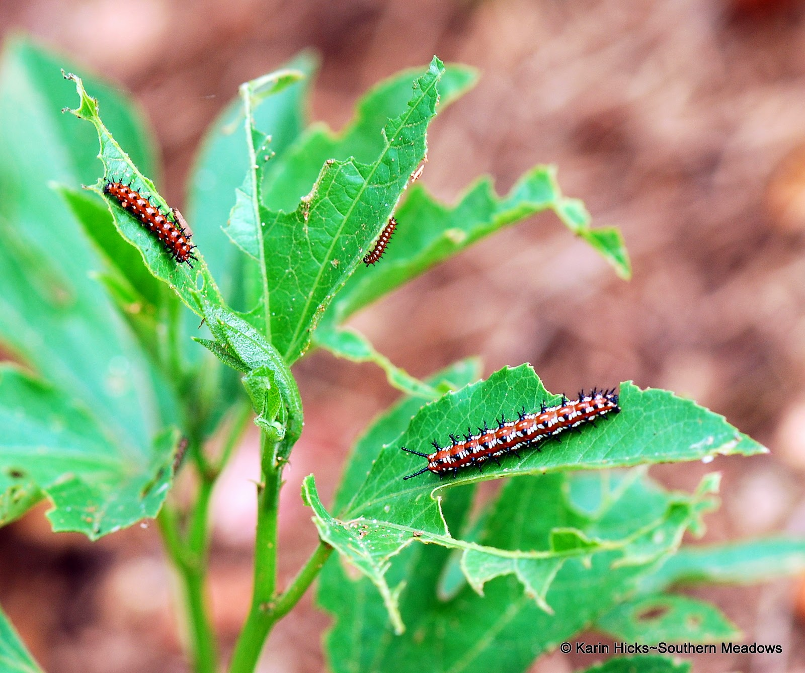 three instars of fritillary caterpillars