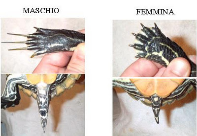 Trachemys scripta pets life for Tartaruga di terra maschio o femmina