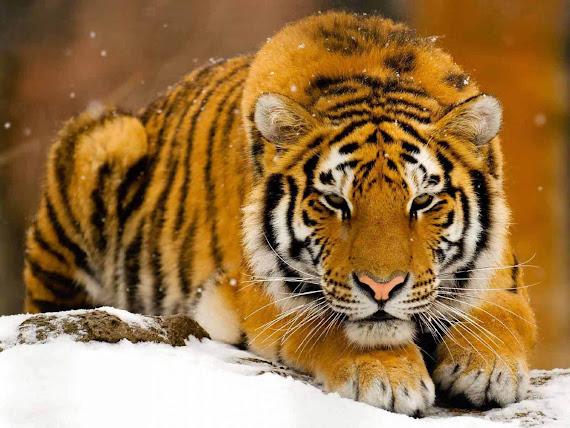 foto harimau terbesar