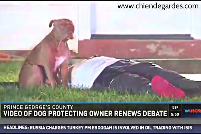 un pit-bull a veillé sur son propriétaire blessé après un incendie de maison