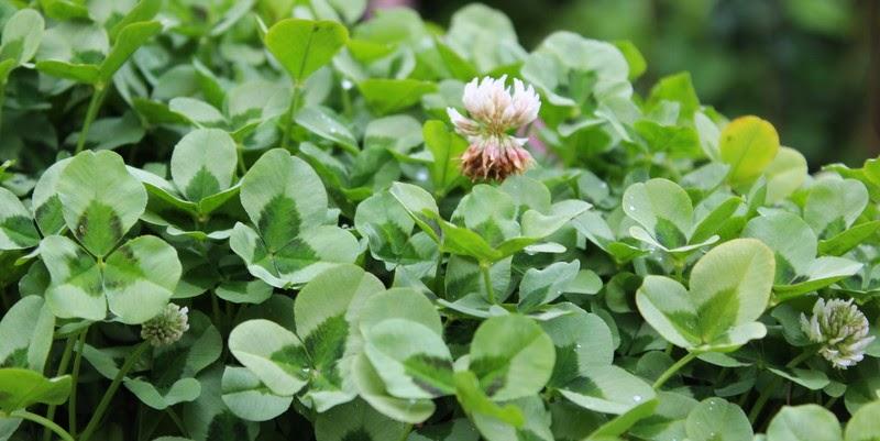 Kløver, trifolium repens