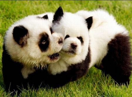 Perros Panda y perros tigre
