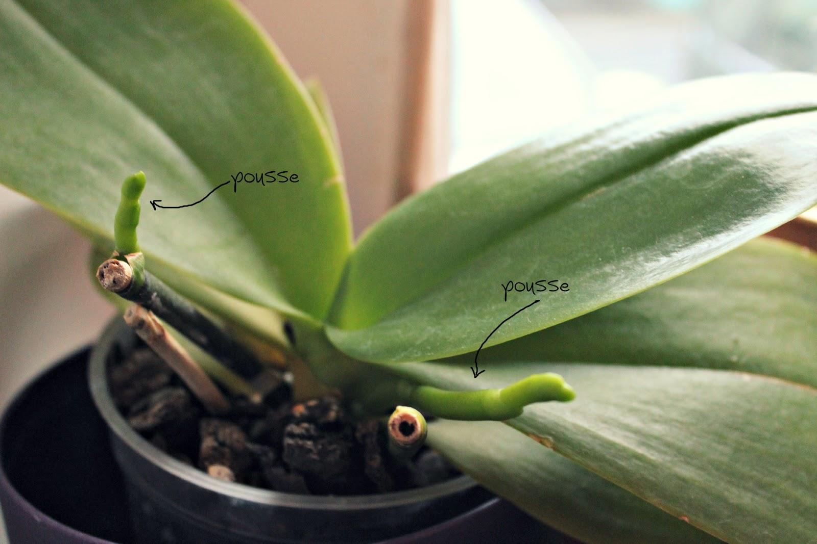 orchidee hampe florale
