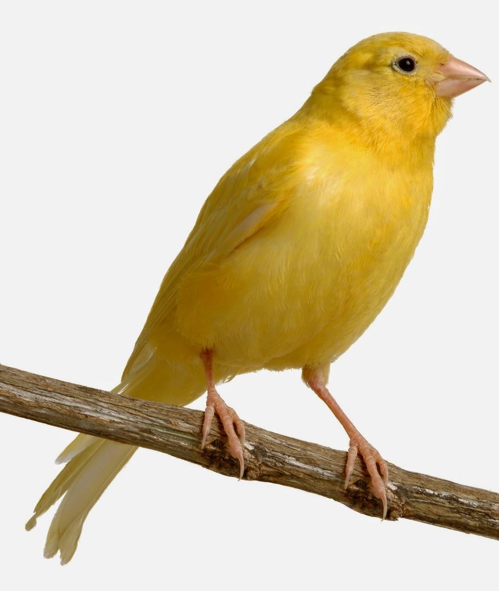 Foto Burung Singer Terbaik