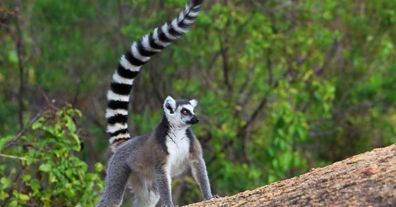 Salvare i Lemuri del Madagascar