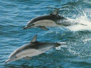 Delfines surcando el mar Fotografias de delfines