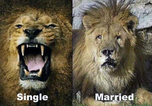 León soltero rugiendo frente a león casado hecho una piltrafa