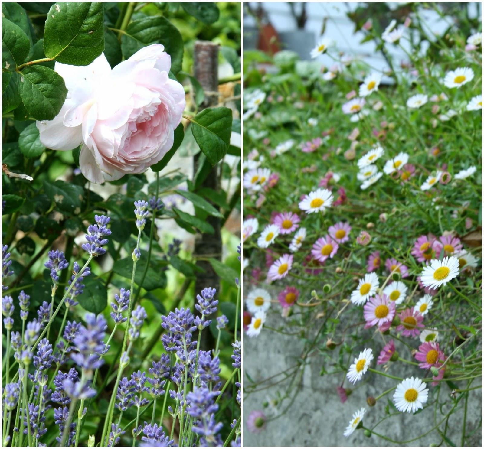 romantic garden erigeron