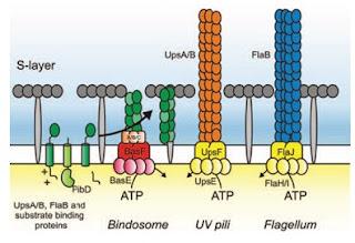 bindosome