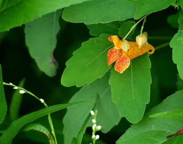 The conical shape of a jewelweed flower is perfect for a hat for a fairy or gnome. When whimsy and imagination take over...