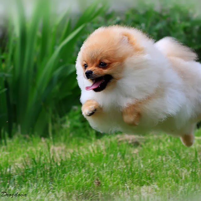 How Fast Can A Pomeranian Run Annie Many