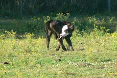 Bull Calf at the Edge's