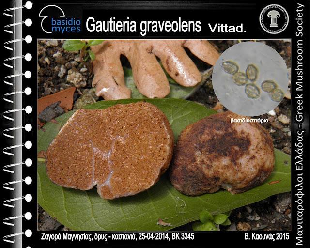 Gautieria graveolens Vittad.