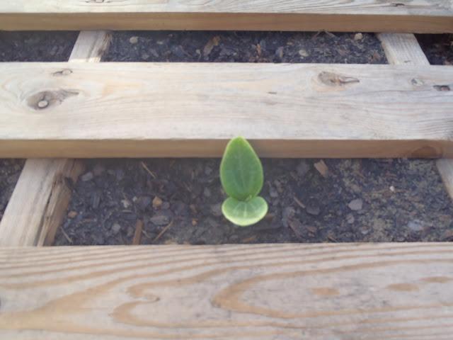 Pallet Garden squash