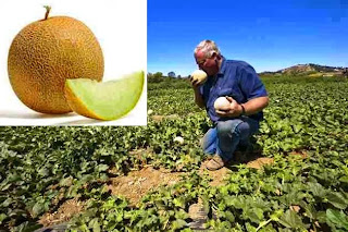 Honeydew Melons Farming Business