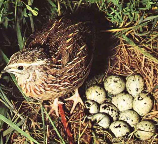VIDA SANA, COMIENDO SANO: Propiedades del huevo de codorniz