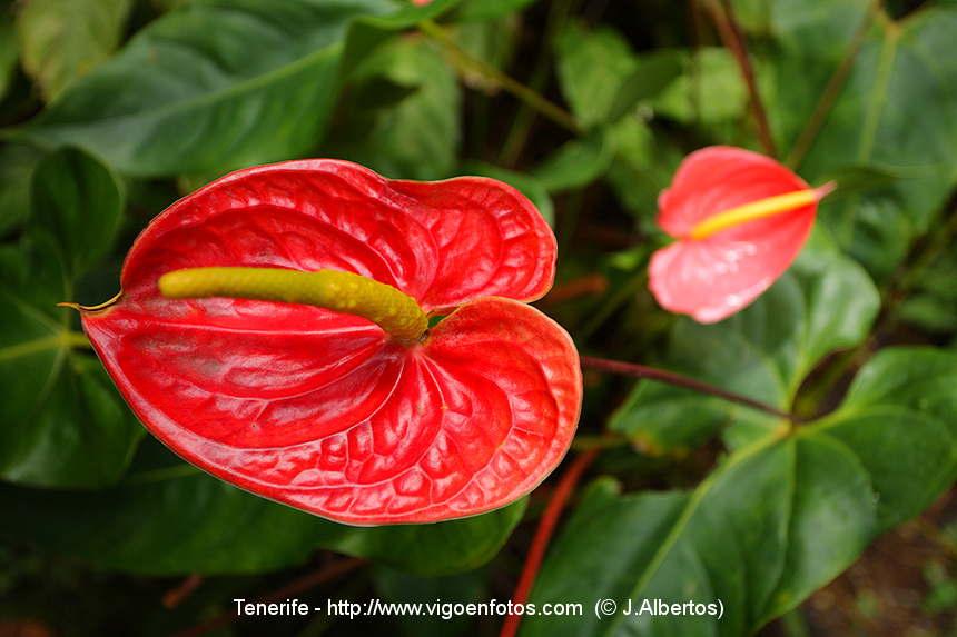 Disfrutaras mirandolas flor del jardin - Flores para jardin ...