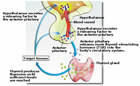 what is the role of the hypothalamus in the production of thyroxine and tsh Thyroid-releasing hormone (trh) from the hypothalamus stimulates tsh from  the  the known ability of thyroid hormones to spark body heat production.