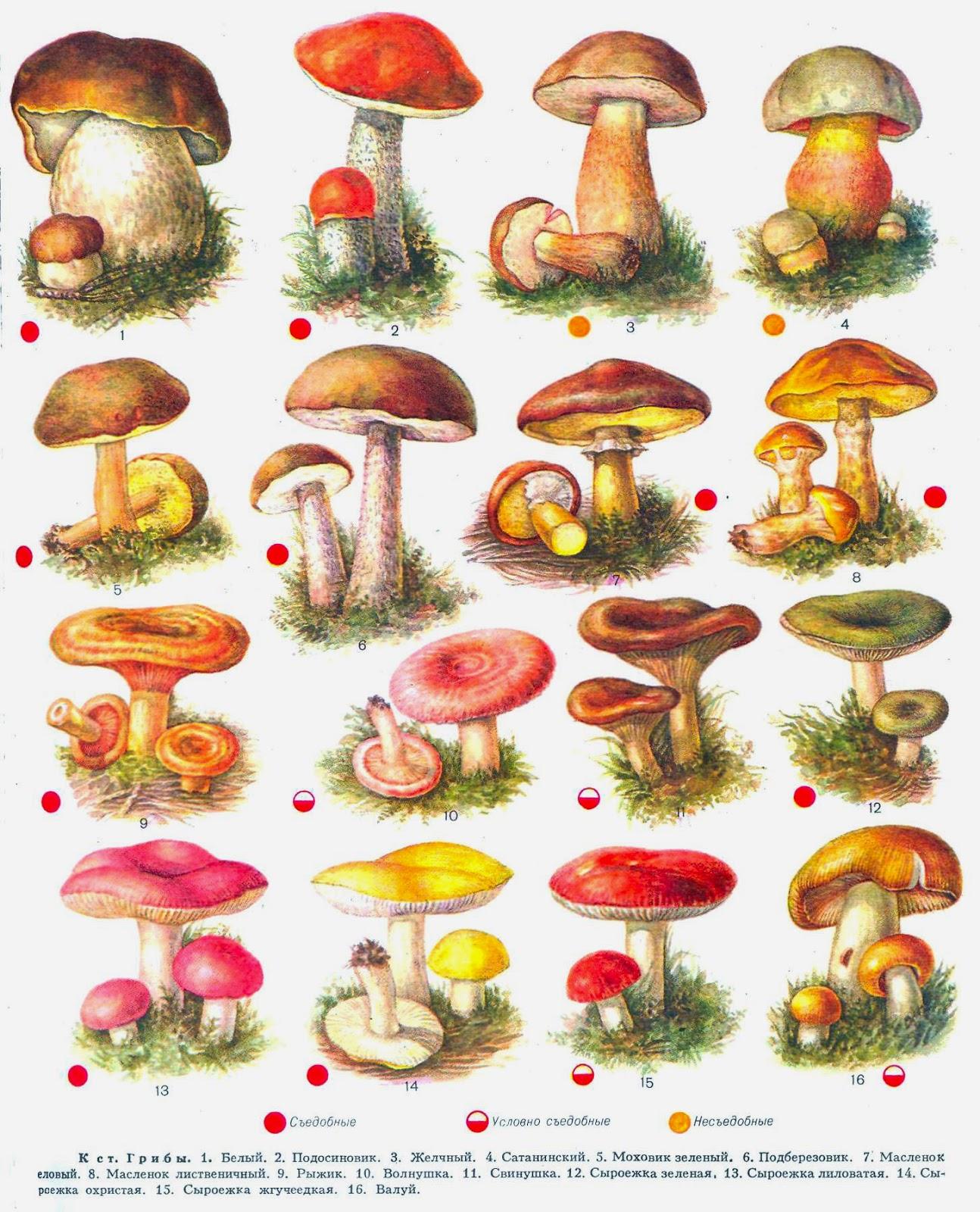 Белый гриб — википедия.