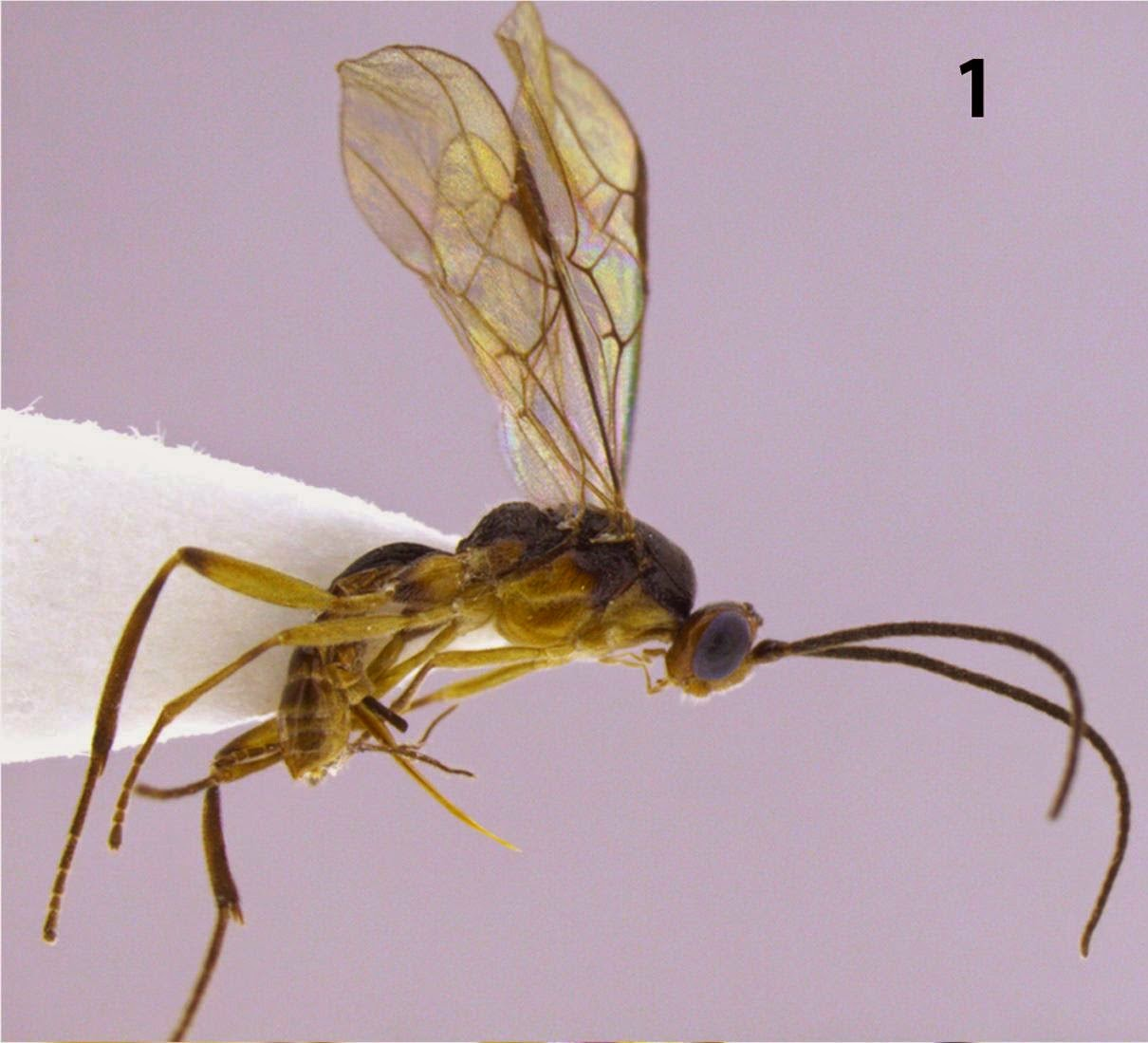 http://sciencythoughts.blogspot.co.uk/2014/03/three-new-species-of-braconid-wasps.html