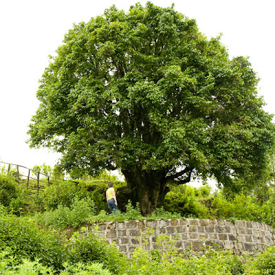 babala tea by tekoe der lteste teebaum der welt le plus vieil arbre de th au monde the. Black Bedroom Furniture Sets. Home Design Ideas