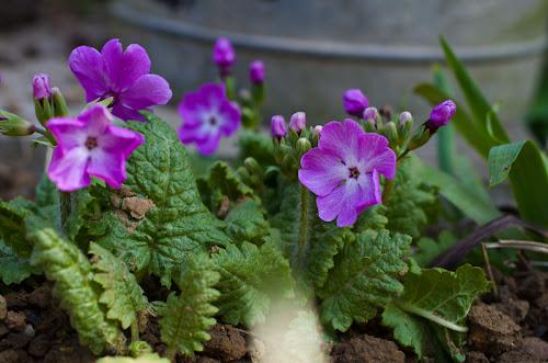 quelle est cette Primula Primula+sp-4