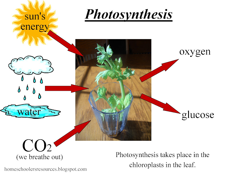 Photosynthesis enables plants and algae to make their own food, but ...