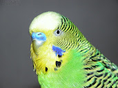 #13 Budgerigar Wallpaper