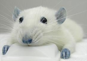 Ratón