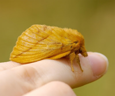 Drinker moth Euthrix potatoria female