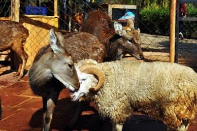 amor entre oveja y carnero