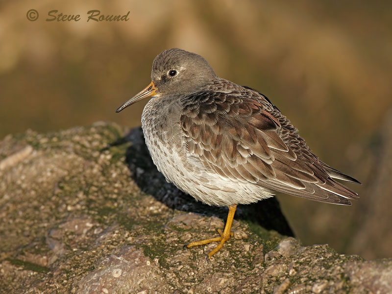bird, nature, wildlife, purple sandpiper