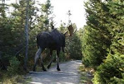 Moose On Olde Back Woods Road
